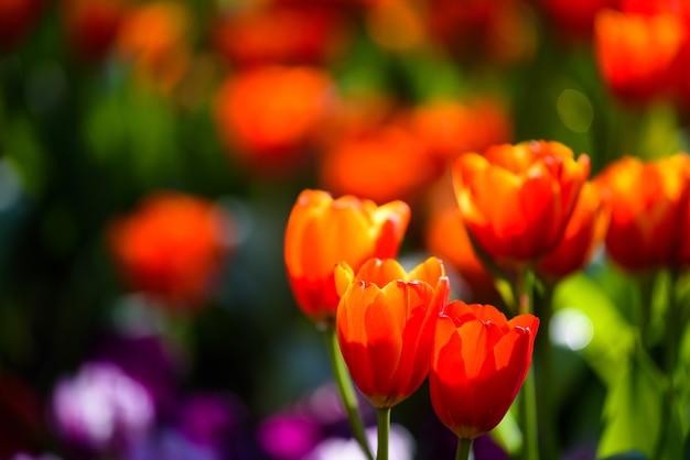 オレンジ色のチューリップの花は、ぼやけたカラフルな花の背景を持つ春の庭で日光によって輝きます。テキスト用のコピースペースを持つ花柄の壁紙。