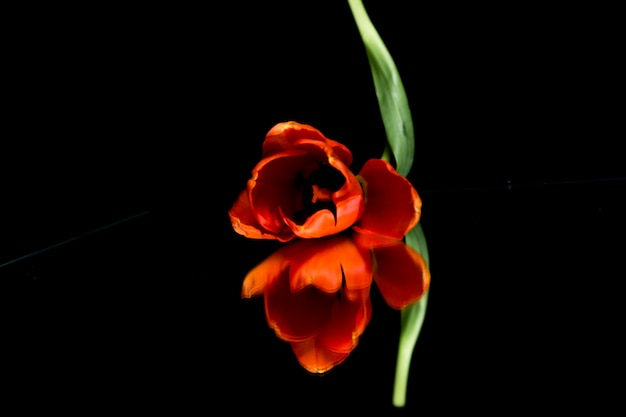 Orange tulip flower head reflecting on black background