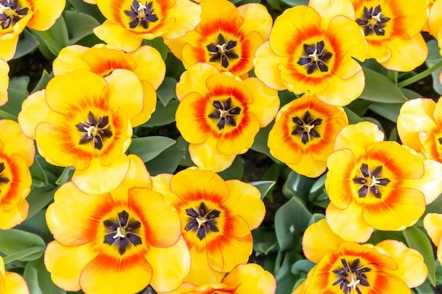オレンジ色のチューリップの新鮮な花をクローズアップ