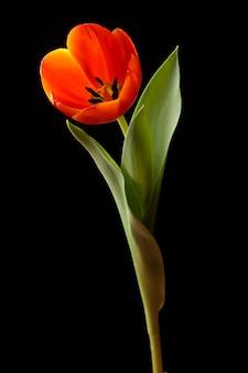 黒に分離されたオレンジ色のチューリップ