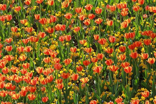 オレンジチューリップ牧草地