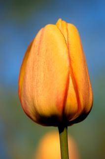 Orange tulip  picture