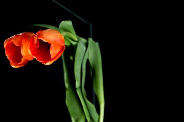 Tulipano arancione con stelo che riflette su vetro nero