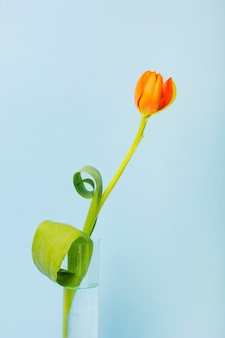 An orange tulips in beaker glass against blue background