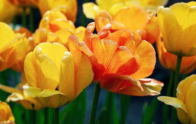 Оранжевые тюльпаны цветут в солнечный весенний день крупным планом