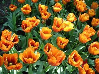 オレンジ色のチューリップの花オレンジ
