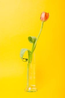 An orange tulips in glass beaker against yellow background