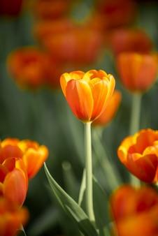 暗い色調のオレンジ色のチューリップがクローズアップ。やわらかな日差しのある庭の新鮮な春の花
