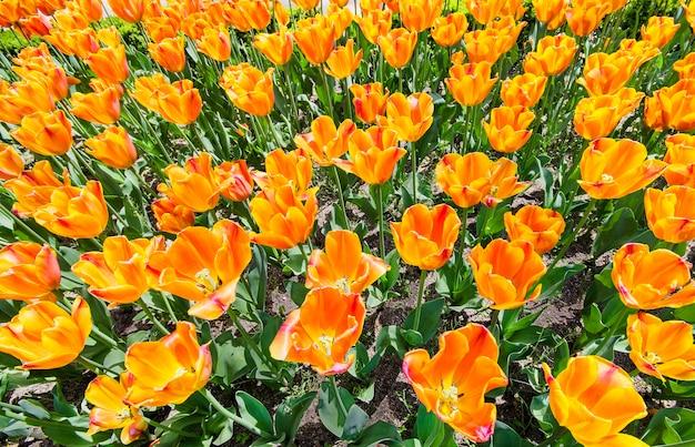 오렌지 튤립 초원