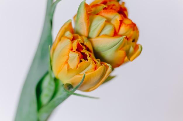 Orange tulips on white wooden background