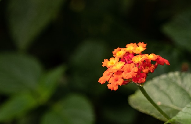 Orange west indian lantana surrounded by greenery with a blurry background