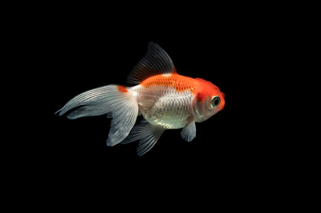 Orange and white dumbo betta splendens fighting fish