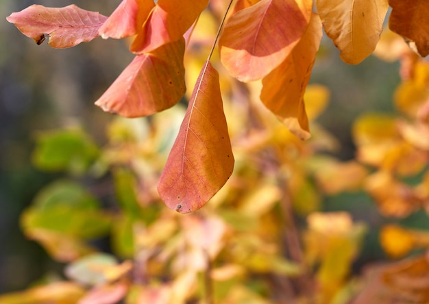 Orange and yellow leaves of cotinus coggygria in autumn, close up