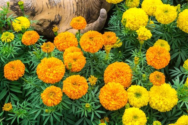 Orange and yellow marigold flowers