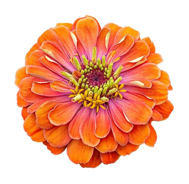 오렌지 초속 elegans 꽃 흰색 배경에 고립입니다.
