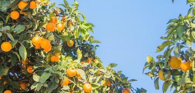수확하기 전에 식물에 오렌지입니다.