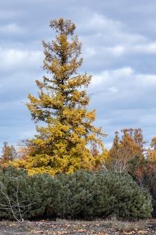 Orangeyellow larch trees and bushes of shrub evergreen pinus pumila