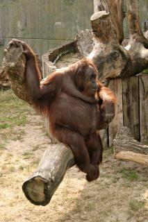Orangutan, eating