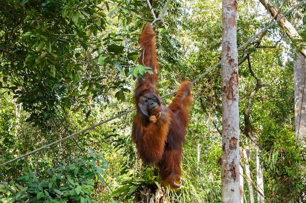 Orangutan hangs on a branch