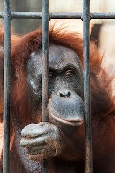 Орангутанг в клетке