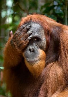 Орангутанг в дикой природе. индонезия. остров калимантан (борнео).