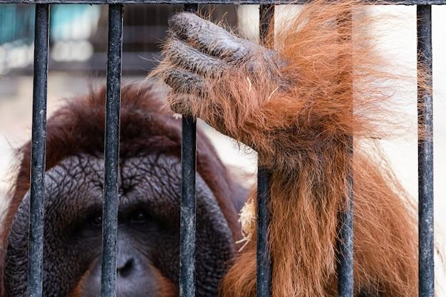 Орангутан в зоопарке