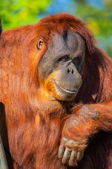 Orangutan making his thanks very smart
