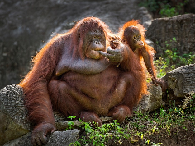 Orangutan mother and baby relaxing in the natural environment of the zoo.