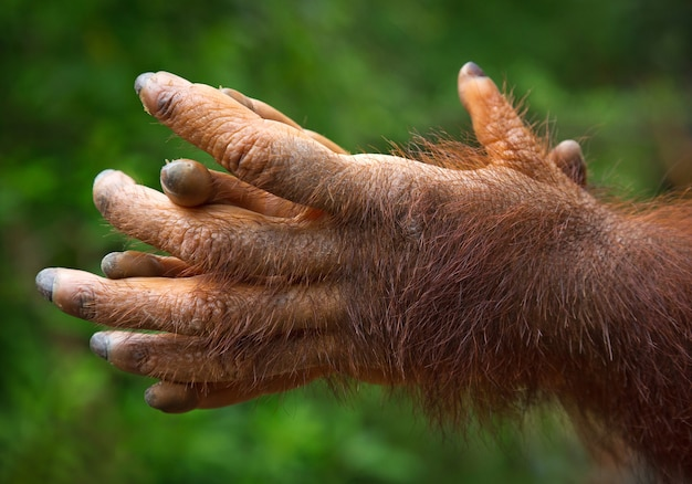 The orangutan's hands are playing in nature.
