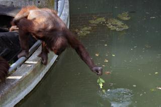 Orangutan stretching for food