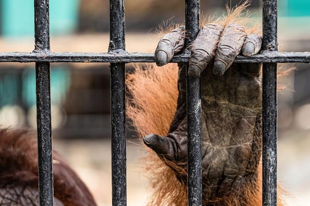 Orangutan in the zoo