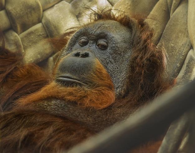 Орангутанг отдыхает в гамаке