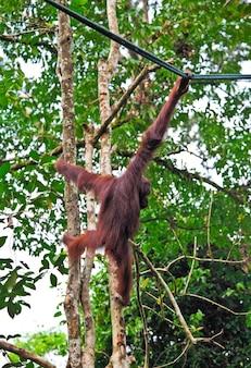 セメンゴー野生生物リハビリテーションセンターのオランウータン