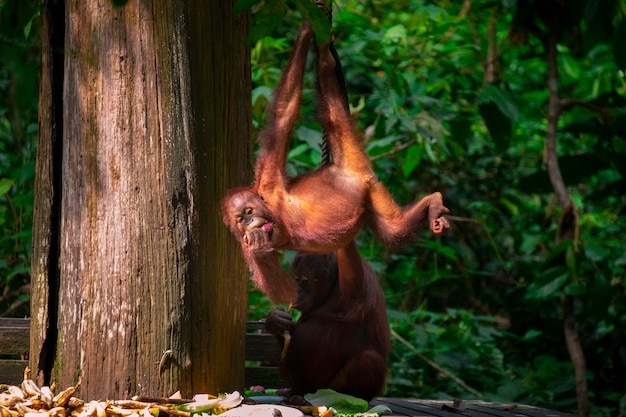Orangutans in the reserve, looking for food