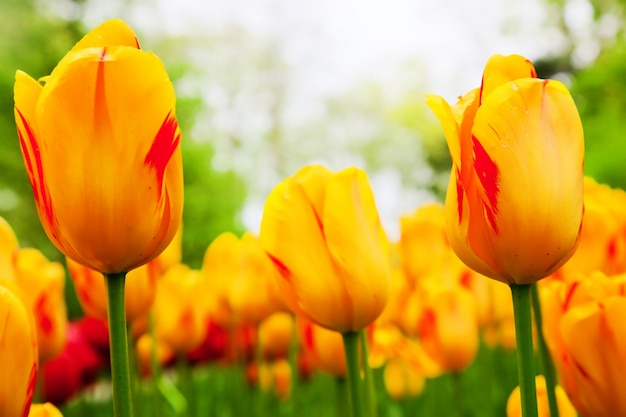 Orante tulips