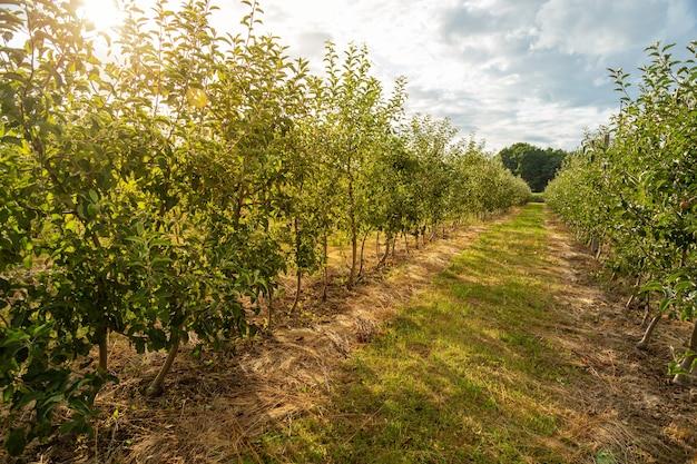 Фруктовый сад с молодыми яблонями