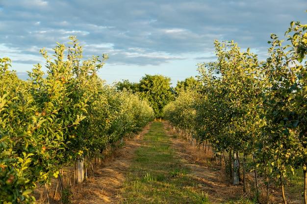 若いリンゴの木と果樹園。