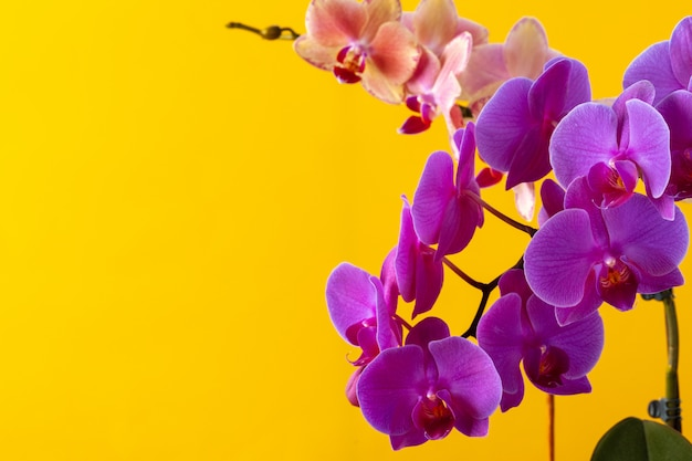 Orchid bloom flowers branch on yellow background