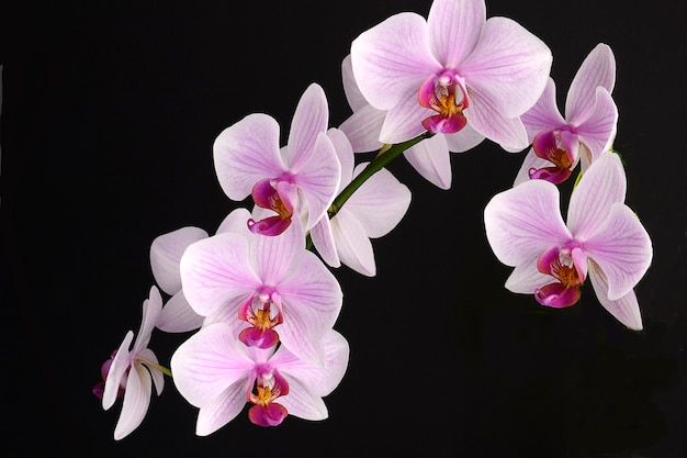 Orchid flower on black background. pink phalenopsis