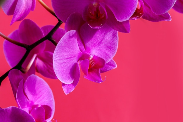 Orchid flower branch on bright pink