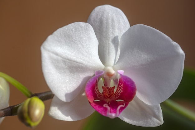 Orchid flower. decorative flowers for home. phalaenopsis growing. floral concept.