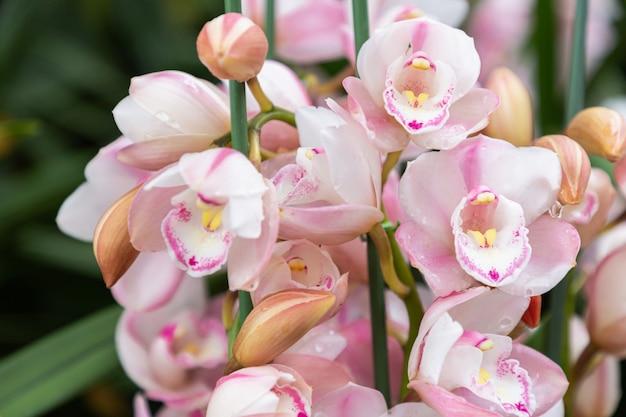겨울 또는 봄 날에 난초 정원에서 난초 꽃. cymbidium 난초