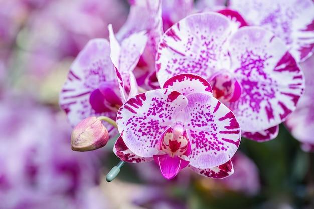 겨울 또는 봄 날에 난초 정원에서 난초 꽃. phalaenopsis 난초과.