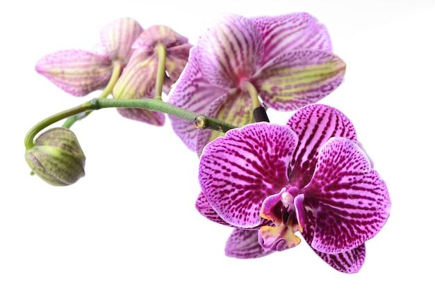 Цветок орхидеи, изолированные на белом фоне