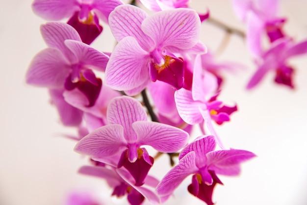 白い背景の上の蘭の花。花は紫色です。繊細で美しい花序。テキスト用の空のスペース。
