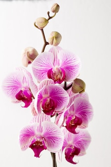 Цветок орхидеи на сером фоне.