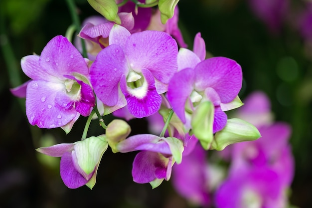 Orchid flower in orchid garden at winter or spring day for beauty and agriculture concept design. dendrobium orchidaceae