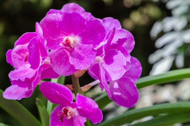 Orchid flower in orchid garden at winter or spring day. vanda orchid.