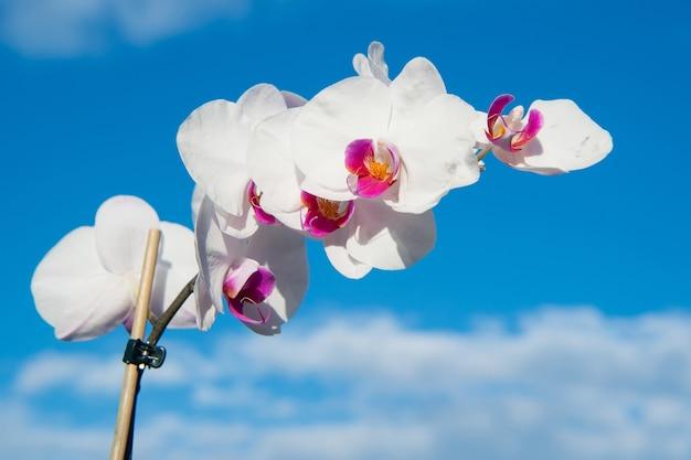 푸른 하늘 배경에 흰색 난초 꽃입니다. phalaenopsis 난초 꽃입니다. 꽃 배경입니다.