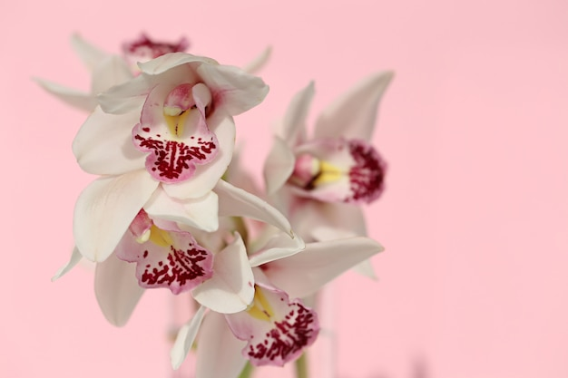 Orchid flower. white with pink orchid close-up on a pastel pink background